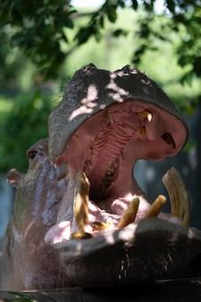 Head of hippopotamus