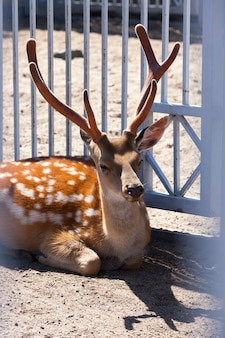Head and horn of a spotted deer living in a zoo behind bars, a closeup of a mammalian animal