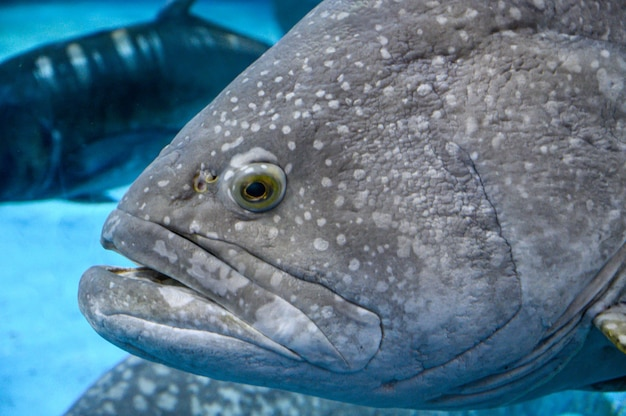 Head of large fish giant grouper brown spotted cod