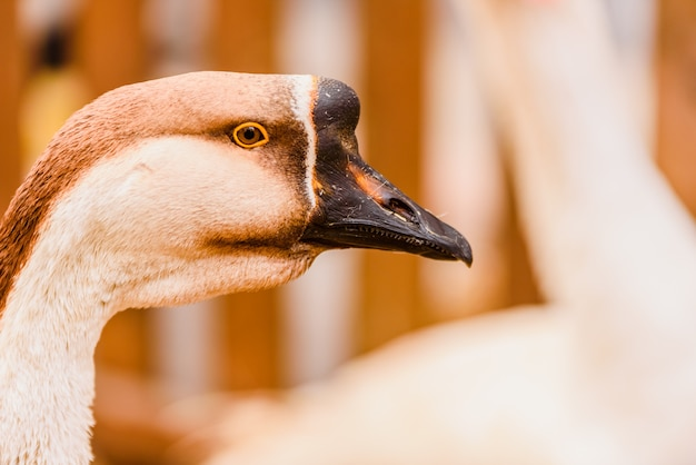 Head and long neck of geese near the fence of a farm.