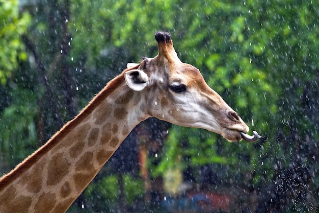 The head and neck of a giraffe having water.