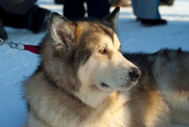 ぼやけた背景にアラスカンマラミュート犬のクローズアップの頭
