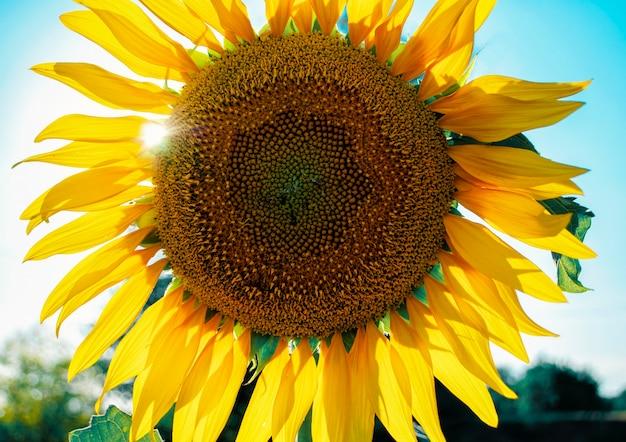 咲くヒマワリの頭がウクライナの野原で空に向かってクローズアップ太陽光線がヒマワリの葉を突破します