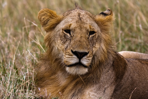 Голова будущего короля. кения, африка