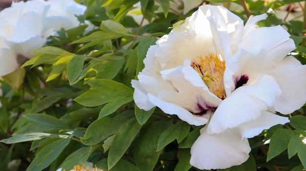 公園の淡いピンクの木の牡丹の花の頭