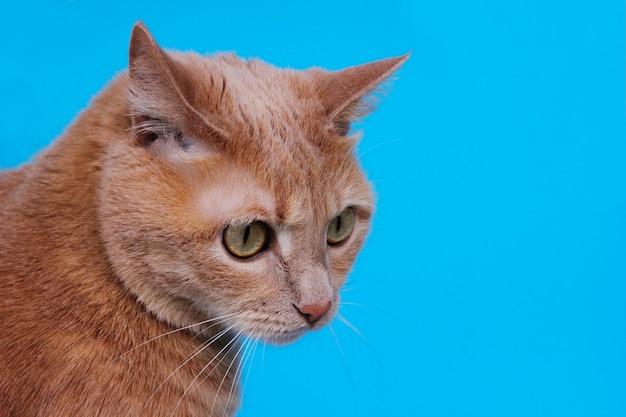 Голова рыжего кота крупным планом на