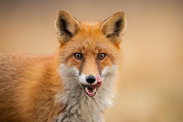 赤いキツネの頭、唇をなめる(ホンドギツネキツネ属)。