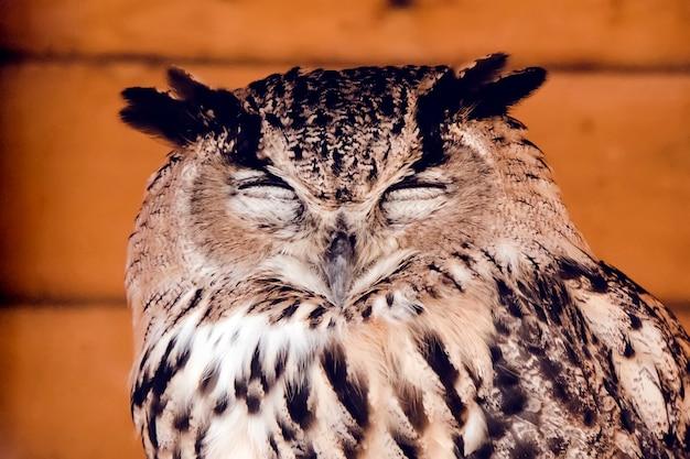 眠っているフクロウのクローズアップの頭。目を閉じて立っているアメリカワシミミズク