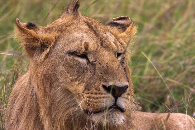 若いライオンの頭。ケニア、アフリカ