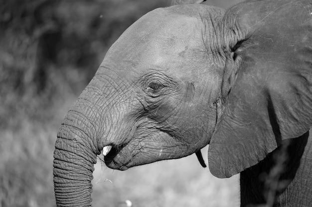 茂みの前にいる若い赤い象の頭