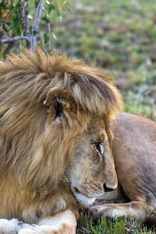 Глава красивый лев саванна африки кения