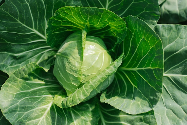 キャベツの頭。若いキャベツの収穫。庭からの新鮮な野菜。