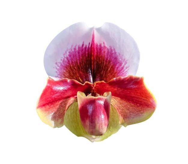흰색 배경에 고립 된 화려한 붉은 꽃 paphiopedilum 자연 장식 패턴의 머리