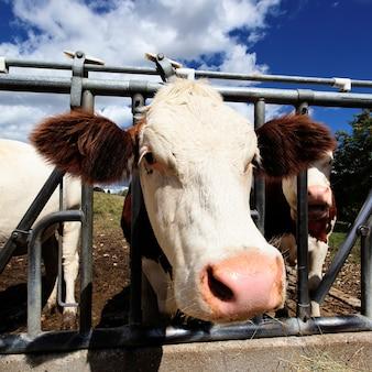 Глава коровы на сельскохозяйственных угодьях летом