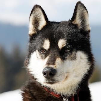 알파인 산에서 허스키 강아지의 머리