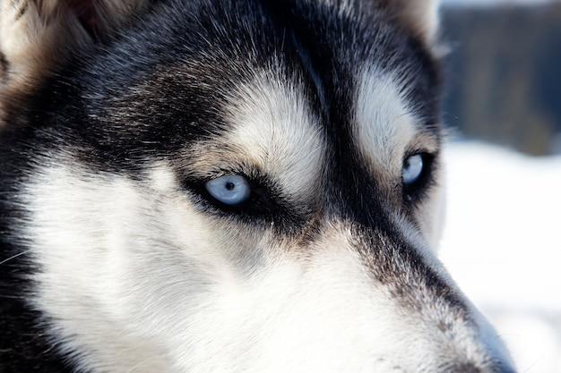 青い目をしたハスキー犬の頭