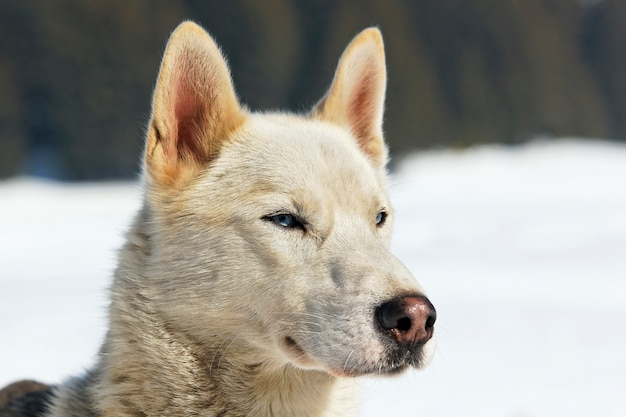 파란 눈을 가진 허스키 강아지의 머리