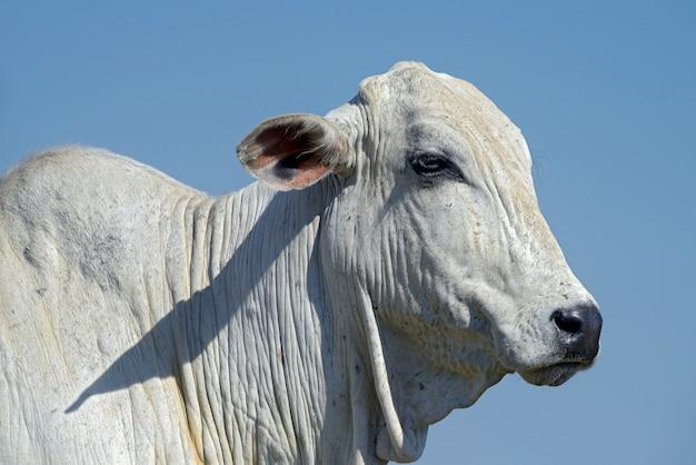 ネロレ牛の頭