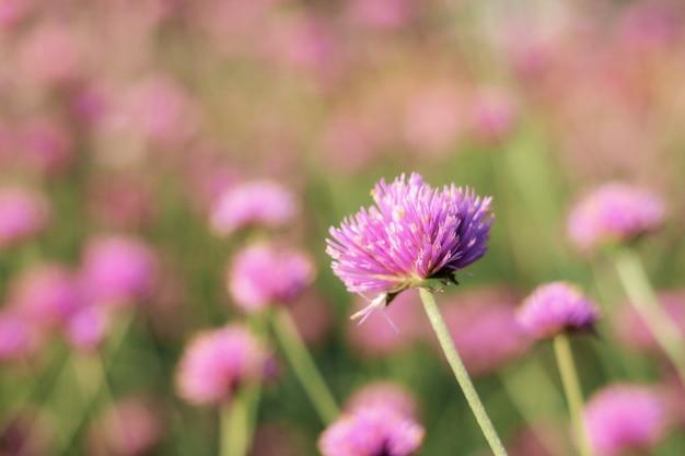 Голова фиолетового цветка зимой на рассвете