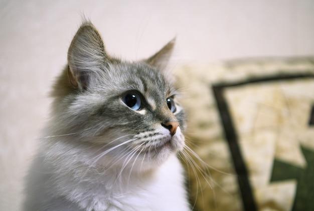 표현이 풍부한 흰색과 회색 고양이의 머리. 보기를 닫습니다.