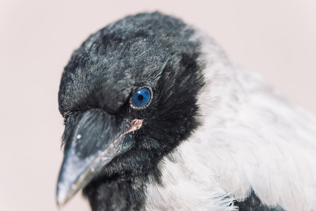 灰色の壁に若いカラスの頭。カラスの肖像画をクローズアップ。都市の鳥。
