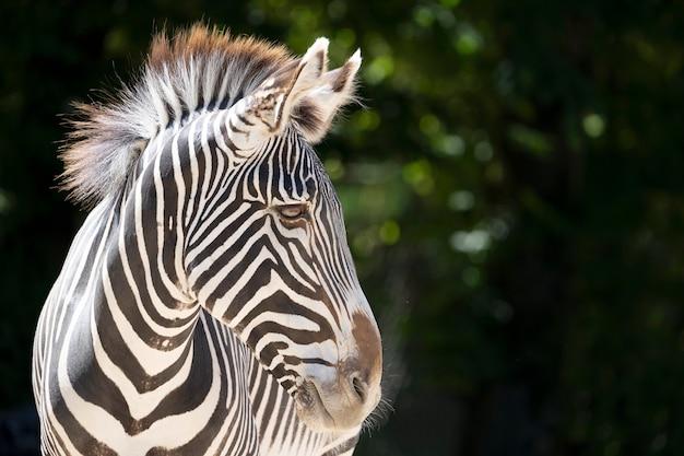 Голова зебры в зоопарке
