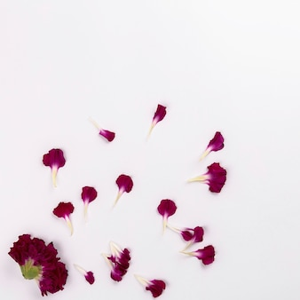 Head and petals of carnation