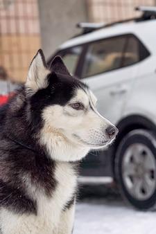Head portrait of a sabaka of a husky breed against a car