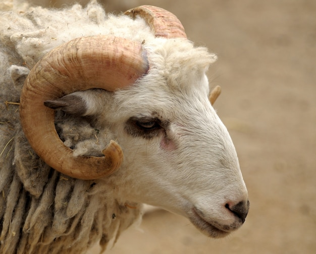 Head of a ram closeup detail