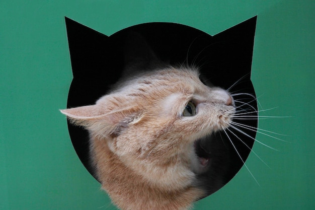 The head of a red cat with an open mouth in profile peeking out of a black hole in the shape of a cat's head on a green background.
