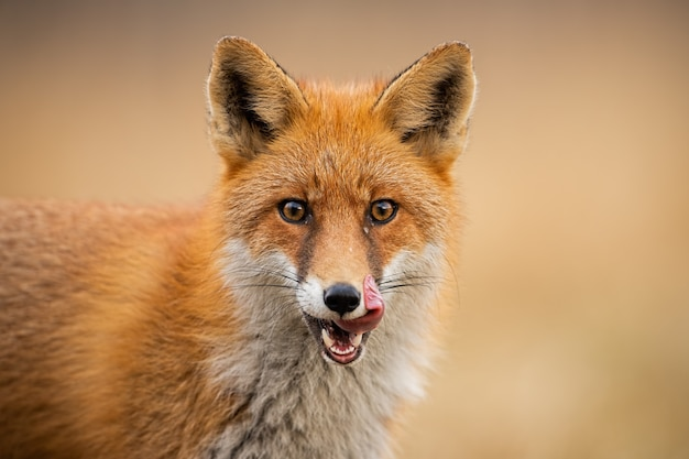 Head of a red fox, (vulpes vulpes) licking lips.