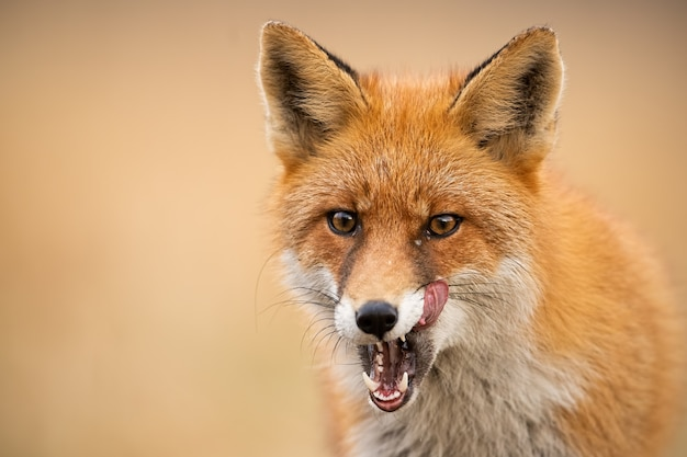 Head of a red fox, vulpes vulpes, looking straight