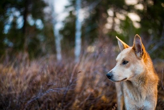 The head of a red hunting dog looks into the distance of the forest in autumn