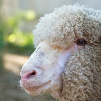 Head of sheep close up. portrait of friendly sheep.