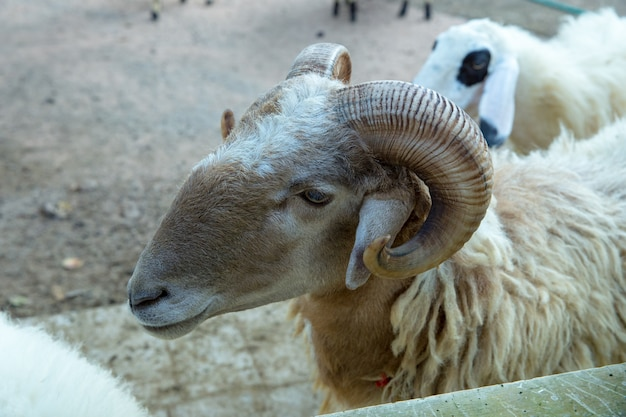Head of sheep in the farm