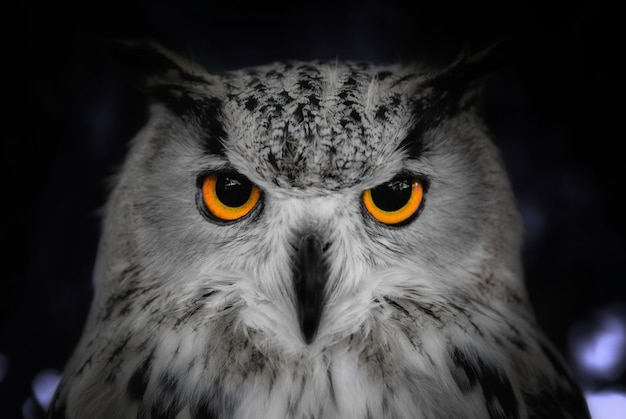 Head shot close up of wild owl in the night