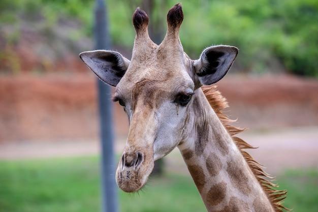 Head shot giraffe in the zoo in thailand