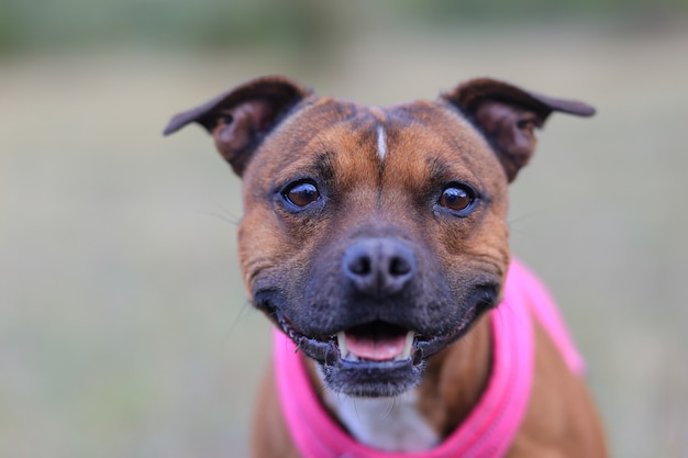 Head of staffordshire bull terrier