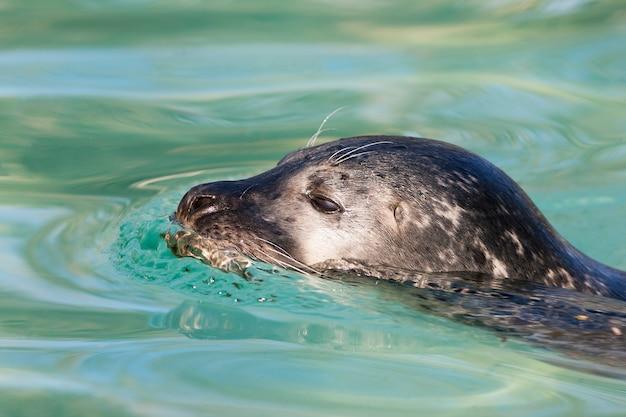 Head of swimming seal