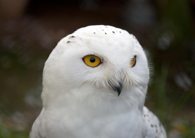 Head of white snowy owl