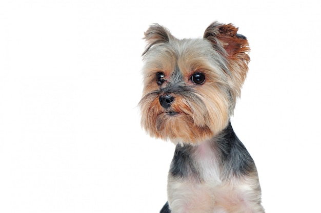 Head of a yorkshire terrier puppy isolated