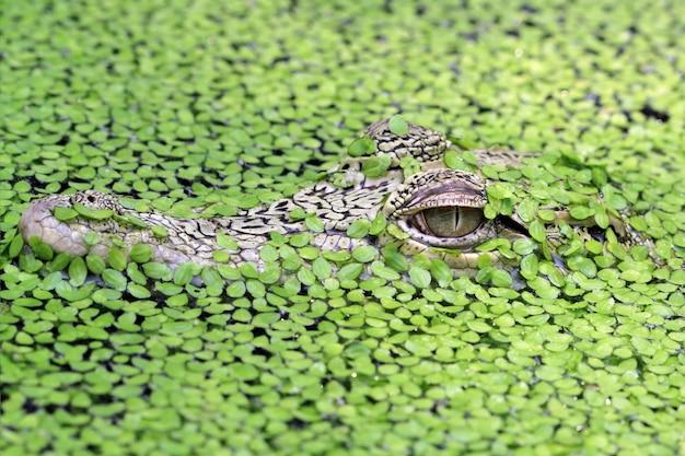 Testa giovane coccodrillo