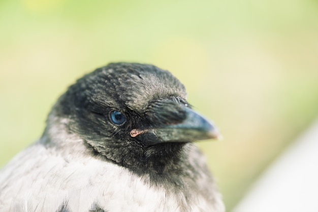 Head young crow on gray and green . portrait of raven close up. urban bird.