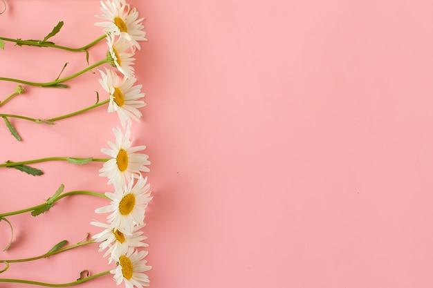 Заголовок с белым цветком ромашки на розовом фоне. композиция весенней нежности с копией пространства.