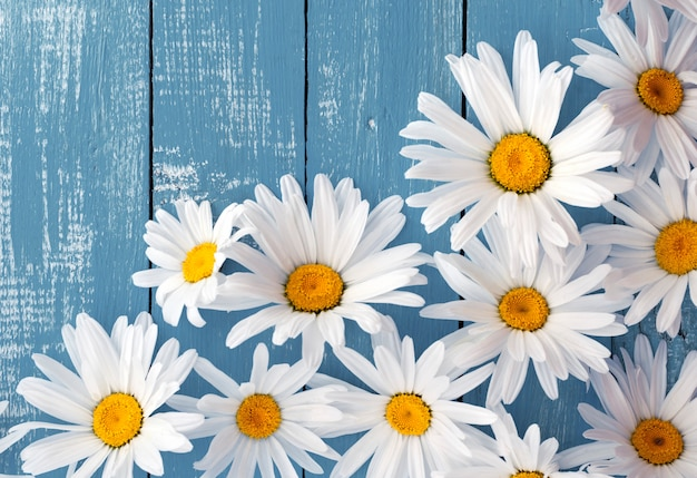 Головки цветов белых больших ромашек на синей деревянной поверхности