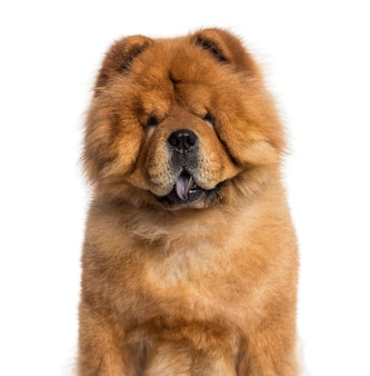 Headshot of a chow chow