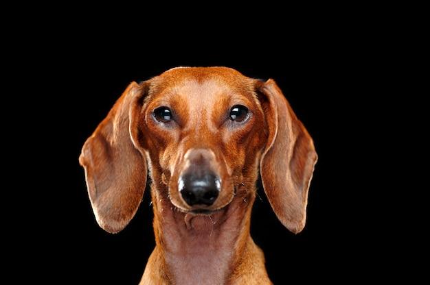 Headshot of a dachshund