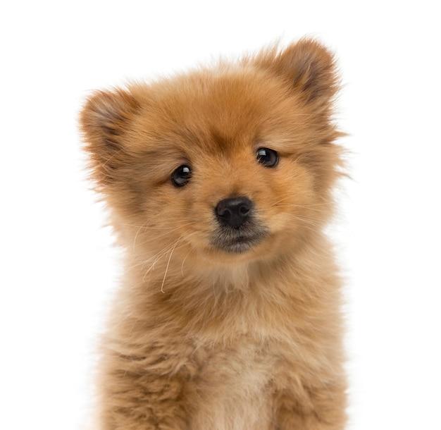 스피츠 강아지의 얼굴 만