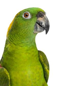 Выстрел в голову желтошерстного попугая (6 лет), изолированного на белом