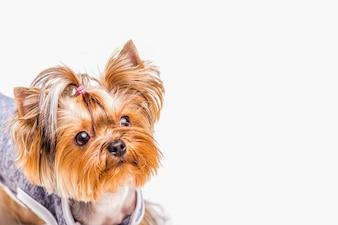 Headshot of cute yorkshire with tiny ponytails on white background